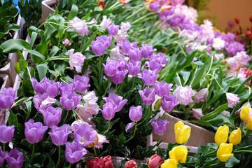 Tulips in pot.