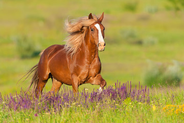 Beautiful red horse with long mane run at summer day in flowers