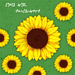 field with sunflowers. sunflower flower pencil drawing. color vector