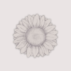 vector sunflower flower pencil drawing. sketch of a sunflower. sunflower flower pencil drawing