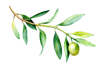 Watercolor illustration of olive branch isolated on white background.