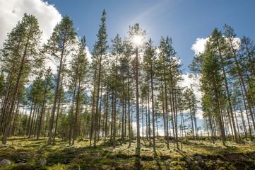 Sunrays in pine forest