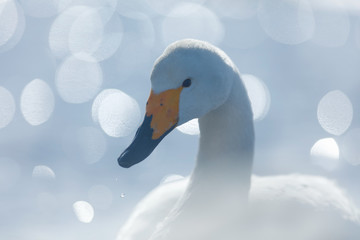 Art view of swan. Whooper Swan, Cygnus cygnus, bird portrait with open bill, Lake Kusharo, other blurred swan in the background, winter scene with snow, Japan. Light in the background.