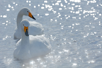 Art view of two swans. Whooper Swan, Cygnus cygnus, bird portrait with open bill, Lake Kusharo, other blurred swan in the background, winter scene with snow, Japan. Light in the background.