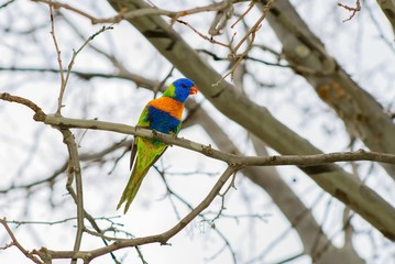 Rainbow Lorikeet on a branch on a winters day