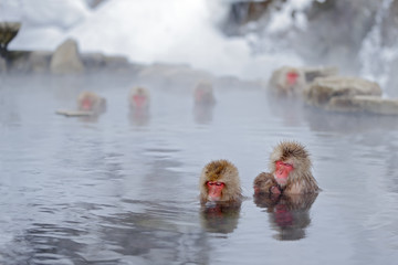 Monkey Japanese macaque, Macaca fuscata, family with baby in the water, red face portrait in the cold water with fog, two animal in the nature habitat, Hokkaido, Japan. Mountain monkey in hot water.