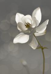 Weiße Akelei (Aquilegia)- Trauerkarte