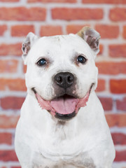 American staffordshire portrait. Image taken in a studio with red brick wall as a background