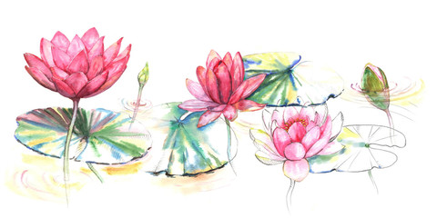 Hand-drawn watercolor illustration of the pink lotus flowers and leaves in the river. Japanese style drawing on the white background