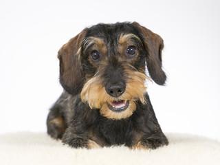 Wiener dog portrait. Dog is also known as the dachshund. Image taken in a studio.