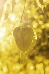 Buddha Green Leaf, Bodhi Tree leaf with sun bright.