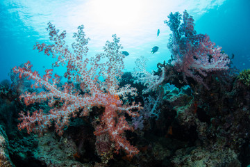 Soft Corals and Sunlight in South Pacific