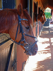 horses in the stables, saddled horse