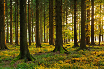 Spruce Tree Forest in the Warm Light of the Setting Sun
