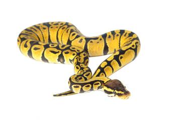 ball python on white background