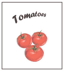 Tomatoes are red. Sketch vector  drawing  tomato. Isolated veget