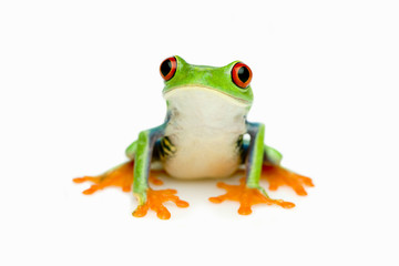 Green Frog Portrait
