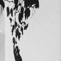shadows hand and grape leaves on the wall. tenderness concept