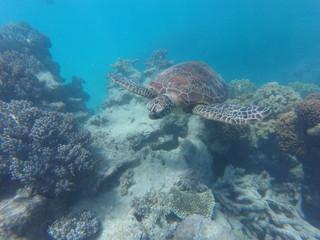 Sea turtle swimming through reef