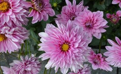Foto auf Acrylglas Blumenhändler Paarse tuinbloemen in bloei in zomer