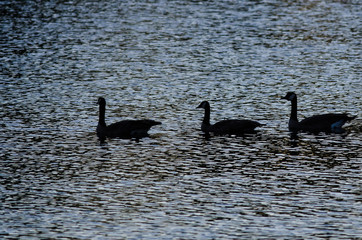 Three Silhouetted Geese Swimming on an Evening Pond