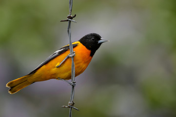 Baltimore Oriole on Barbed-Wire