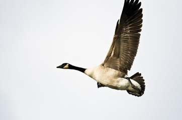 Canada Goose Flying Past Against a White Background