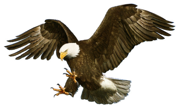 Bald eagle swoop attack hand draw and paint on white background vector illustration.