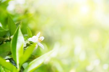 Citrus garden during flowering