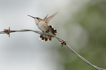 Hummingbird launches into flight off barbed-wire