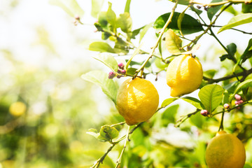 Lemon trees with ripe fruits