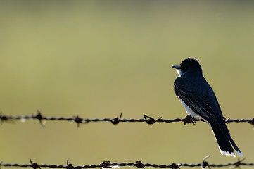 Eastern kingbird looks majestic on rusty barbed-wire