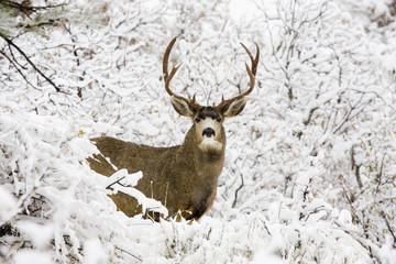 Huge Buck Mule Deer in Snow