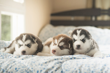 Cute two puppies siberian husky lying on a bed