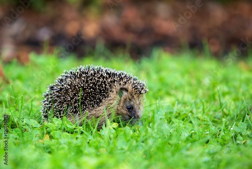 igel im garten iv stock photo and royalty free images on. Black Bedroom Furniture Sets. Home Design Ideas