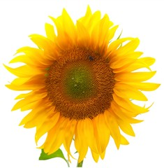 sunflower. Isolated over white background.