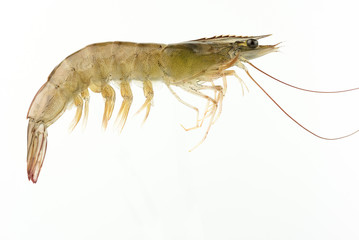 fresh Raw shrimp isolated