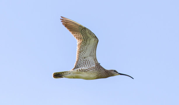 Whimbrel - Iceland
