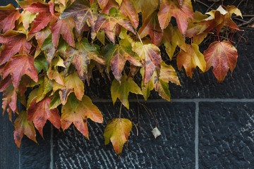 Autumn Boston ivy leaves background
