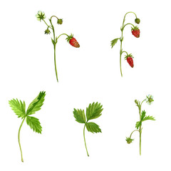 watercolor drawing plants of strawberry