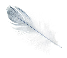 striped streight light blue feather on white