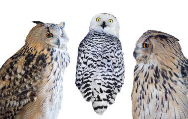 Fotoväggar - three isolated on white owls