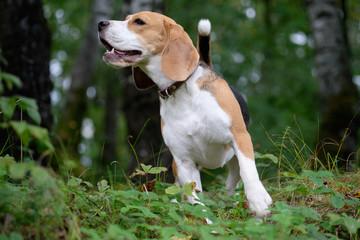 Собака порода бигль на прогулке в лесу на зеленом фоне