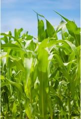 Green corn plantation . Close - up .