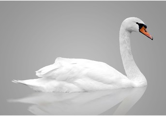 Photo sur Aluminium Cygne White swan floats in water. bird isolated over gray background