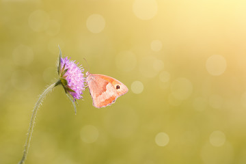 Nymphalidae - Maniola jurtina