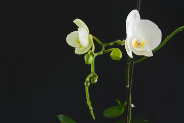 branch with white flowers and buds of an orchid on a black