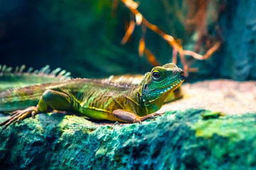 Garden Poster Chameleon Colourful Asian water dragon (Physignathus cocincinus) - smok wodny