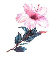 Hand-drawn watercolor floral illustration of the tender white with pink hibiscus flower. Natural drawing isolated on the white background. Romantic tropical blossom.