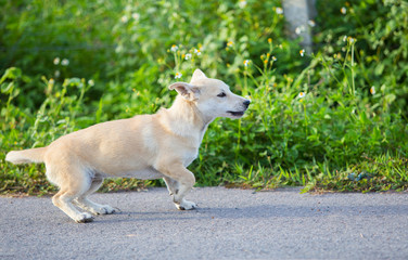 White thai dog try to jumping on the street with green field backgroun, side view